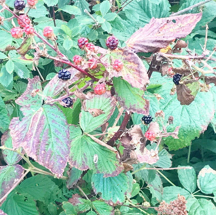 Blackberry Shortbread Wedges